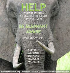 Ivory Belongs On the Elephant ADVOCACY AND INFORMATION SITES Elephant Ectivism | For Elephants www.elephantectivism.org Elephant Advocacy www.elephantadvocacy.org ElephantVoices www.elephantvoices.org Burn the Ivory www.burntheivory.org