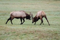 You are pretty much guaranteed to see the Roosevelt Elk lounging about in the fields in and around Deans Creek near Reedsport.