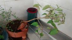 #bonsai Pitanga