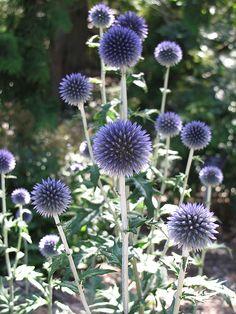 Veitch's Blue Globe Thistle (Echinops ritro 'Veitch's Blue') at Connon Nurseries Thistle Plant, Thistle Flower, Cut Flowers, Wild Flowers, Beautiful Flowers, Outdoor Plants, Garden Plants, Flowers Perennials, Kew Gardens