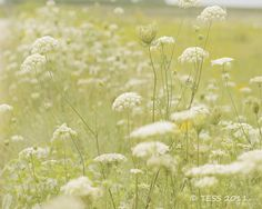 Queen Annes Lace Photography Print  by #PhotographybyTess #fpoe #photography