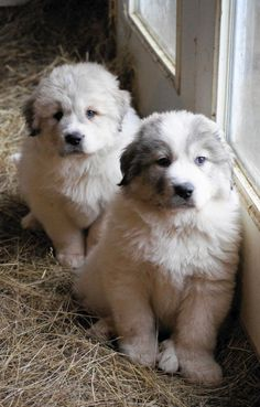 Great Pyrenees Puppies at Boondockers Farm Pyrenees Puppies, Great Pyrenees Puppy, Cute Puppies, Cute Dogs, Dogs And Puppies, Puppies Tips, Doggies, Awesome Dogs, Funny Dogs