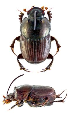 Onthophagus mopsus