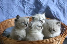 Super cute! 😻 Google Image Result for http://www.pictures-of-cats.org/images/siberian-cat-pictures-of-cats-1.jpg
