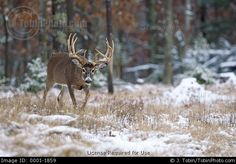 Wildlife photo of a big buck whitetail deer walking through freshly fallen snow near the of a mixed hardwood-conifer forest. Whitetail Deer Pictures, Conifer Forest, Snow Pictures, White Tail, Big Game, Wildlife, Walking, Safety, Hunting Stuff