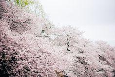 東京での私服前撮りのご紹介です。撮影はクッポグラフィーの眞鍋圭治朗が担当致しました。シンガポールからお越しのお二人。どうしても桜と撮りたくて、この季節に日本に来られたそうです。ただ当日は小雨が降る中で