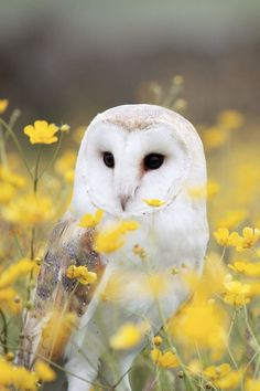 Gorgeous photo of a barn owl in a field.