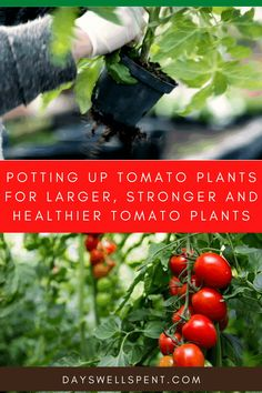 Learn how to Pot Up Tomato Plants For Larger, Stronger, and Healthier Tomato Plants. #tomatoplants #gardening101 #urbanhomesteading Vegetable Garden Planning, Vegetable Garden For Beginners, Backyard Vegetable Gardens, Gardening For Beginners, Growing Tomatoes, Growing Vegetables, Easy Garden, Garden Tips, Starting A Garden
