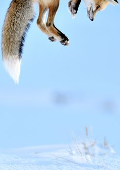 Foxes wait and listen then spring into the air and dive down in hopes of catching field mice under the snow! Awesome!