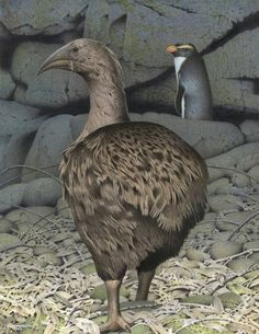 The South Island Adzebill - Image from the series Extinct birds of New Zealand by Paul Martinson Extinct Birds, Extinct Animals, Animals Of The World, Animals And Pets, Pigeon Breeds, Forest Habitat, Birds Online, Curious Creatures, Sea Creatures
