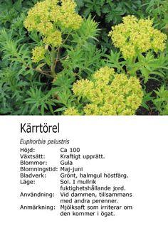 #vår #fukt Euphorba palustris - Kärrtörel