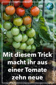 #tomaten #pflanzen #garten #sommer #genialeinfach