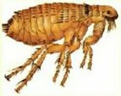 Using borax is a effective and popular method of killing fleas because borax is odorless, readily available in powdered form and easy to use. As a natural derivative of boron, borax is far less toxic than many alternative flea control remedies. Borax Laundry, Killing Fleas, Borax Uses, Flea Shampoo, New Things To Try, Pest Control, Cool Cats, Cleaning Products, Cleaning Solutions