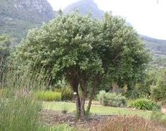 Kiggelaria africana - Wild peach a good option for shade with non invasive roots Tree Identification, Design Concepts, Peacocks, Creepers, Garden Plants, Roots, Garden Ideas, Bloom, Country Roads