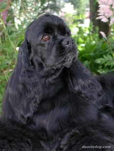 """Find out more relevant information on """"cocker spaniel puppies"""". Browse through our internet site. Black Cocker Spaniel, American Cocker Spaniel, Cocker Spaniel Puppies, English Cocker Spaniel, Spaniel Dog, Spaniels, Pet Dogs, Dogs And Puppies, Dog Cat"""