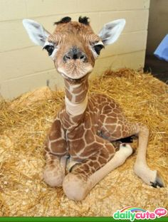 Baby Giraffe! <3