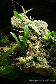 A close up of the planting inside my Miniature Orchid Trial BiOrbAir Terrarium. In this photograph, taken on the 9th April 2016, you can see Masdevallia decumana and Masdevallia rechingeriana in flower. Domingoa purpurea has produced flower spikes inside this terrarium, but the flowers are yet to open. Lepanthopsis astrophora 'Stalky' can be seen in the background, and Aerangis fastuosa in the foreground.