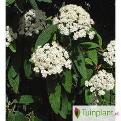 Groenblijvende sneeuwbal (Viburnum rhytidophyllum)