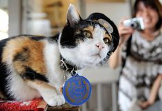 Tama the station master and operating officer at Kishi Station in Kinokawa, Wakayama, Japan. Wakayama, Cat Facts Text, Funny Animals, Cute Animals, Hachiko, Japanese Cat, Akita Dog, Life Photo, Cool Cats