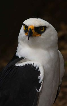 Black and White Hawk Eagle
