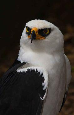 Black and White Hawk Eagle. !IEC