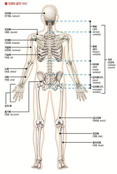 Exceptional Drawing The Human Figure Ideas. Staggering Drawing The Human Figure Ideas. Human Anatomy Drawing, Human Body Anatomy, Human Figure Drawing, Anatomy Study, Anatomy Reference, Muscle Anatomy, Anatomy Bones, Skeleton Anatomy, Anatomy Sketches