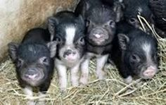 baby pot bellied royal dandie piglets for sale