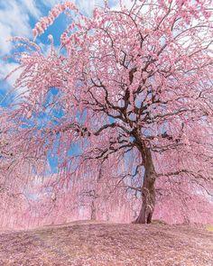Suzuka-no-Mori TeienJapanAt the foot of Suzuka Mountains, Suzuka-no-Mori Teien is a new sightseeing spot. Wallpaper Nature Flowers, Flower Phone Wallpaper, Beautiful Nature Wallpaper, Beautiful Landscapes, Cherry Blossom Tree, Blossom Trees, Nabana No Sato, Japan Landscape, Aesthetic Japan