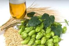 Fresh ingredients are important for brewing great beer, but if you buy brewing ingredients in bulk you can also save money. So this week we take a look at how to store and preserve your hops, grains, yeast and malt extract for brewing great beer. What Is Beer, Hops Plant, Beer Ingredients, Beer Hops, Cash Crop, Pint Of Beer, Home Brewing Beer, Beer Recipes, Homebrew Recipes