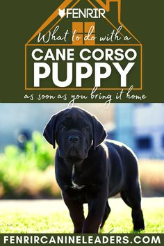 Collecting your Cane Corso puppy but not sure what to do when you get it home? Check out our lastest upload looking at the top things to do as soon as your puppy gets home! More awesome dog information at Fenrir Canine Show and Fenrir Canine Leaders. Best Guard Dog Breeds, Best Guard Dogs, Giant Dog Breeds, Giant Dogs, Large Dog Breeds, Large Dogs, Cane Corso Dog Breed, Mastiff Dog Breeds, Cane Corso Puppies