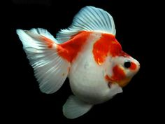 Ryukin Goldfish, Comet Goldfish, Goldfish Bowl, Turtle Aquarium, Aquarium Fish, Koi, Goldfish Types, Golden Fish, Salt Water Fish
