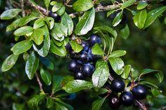 Prunus spinosa - Blackthorn or Sloe