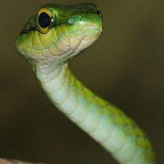 No todas las serpientes son venenosas sin embargo todas corren con la misma suerte cuando se cruzan con algún humano.  Las serpientes son muy importantes depredadores que se encargan de regular las poblaciones de roedores y otros animales que pueden ser perjudiciales para nuestra salud y para los cultivos de alimentos que consumimos. Incluso existen especies de serpientes no venenosas que se alimentan de otras serpientes que sí lo son.  Cuando veas una serpiente no te asustes tampoco te…
