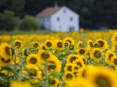 The Sussex County Sunflower Maze in Augusta, N.J. Chuck Whitmore, Your Take.