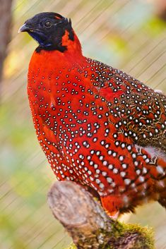 This is a Satyr Tragopan, small bird living in the Himalaya, here taken at the zoo of Zürich.
