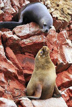 ˚Sea Lions - Ballestas Island, Peru