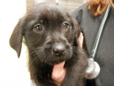 Reese is an adoptable Terrier Dog in Chicago, IL. This is Reese! She is a 10 week old terrier mix available for adoption! Reese is still working on her puppy shots and will be spayed when old enough. ...