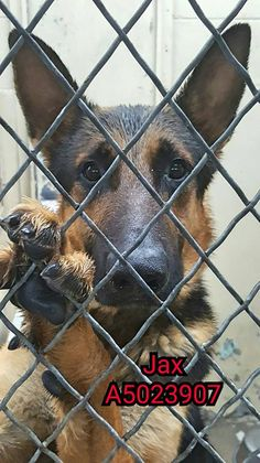 """2/2/17 A crowded animal control facility in Downey, California, has a gorgeous dog tucked away from the general adoption area. The German shepherd, named """"Jax,"""" was taken in at the Los Angeles County Animal Services facility on January 7 – despite a great deal of social media networking, he still remains behind bars, without a home. …"""