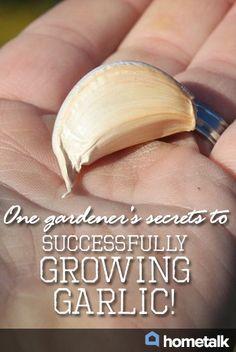 One gardener's secrets to successfully growing garlic!