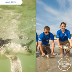 Marking SeaWorld's largest sea turtle return in four years, we are proud to share that we returned 17 Kemp's ridley sea turtles to the wild last week. #365DaysOfRescue