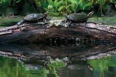 great swamp turtles