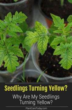 """Gardeners know the tribulations of growing seedlings. We often hear, """"My seedlings are turning yellow Why"""" - Learn To Fix it [DETAILS] Healthy Fruits And Vegetables, Easy Vegetables To Grow, Different Vegetables, Starting A Garden, Seed Starting, Gardening For Beginners, Gardening Tips, Growing Seedlings, Liquid Fertilizer"""