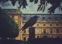 A Crow In Paris  Blackbird  Tuileries Garden  by WolfMercuryPhotos