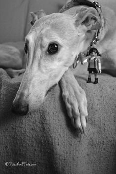 Greyhounds and their toys, LOL!