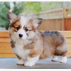 Pembroke Welsh Corgi - Alert and Affectionate Cute Corgi Puppy, Corgi Dog, Mini Corgi, Cute Baby Animals, Animals And Pets, Funny Animals, Cute Dogs And Puppies, Doggies, Fluffy Corgi Puppies