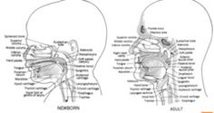 larynx adult vs. neonate - Google 검색