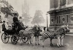 Walter Rothschild riding his zebras to Buckingham Palace