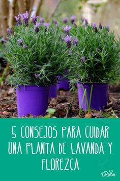 Front Door Plants, Mystic Garden, Growing Lavender, My Secret Garden, Garden Care, Garden Boxes, Flower Show, Growing Plants, Garden Styles