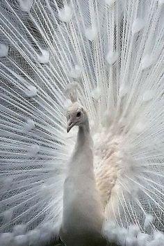 Heart Shaped Things * White Peacock