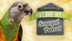 I love My Senegal Parrot